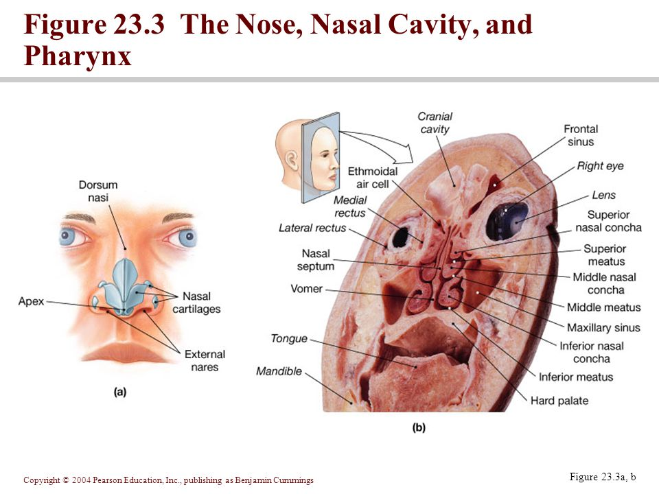 Copyright © 2004 Pearson Education, Inc., publishing as Benjamin Cummings Figure 23.3a, b Figure 23.3 The Nose, Nasal Cavity, and Pharynx