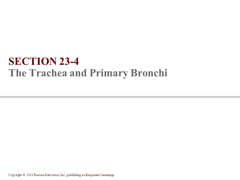 Copyright © 2004 Pearson Education, Inc., publishing as Benjamin Cummings SECTION 23-4 The Trachea and Primary Bronchi