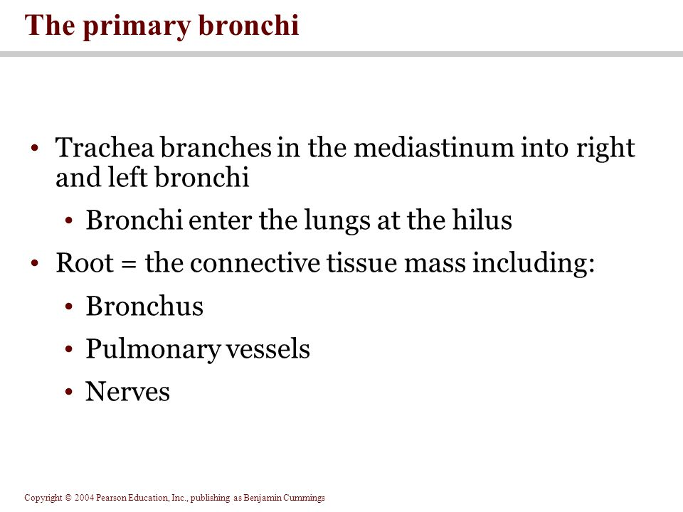Copyright © 2004 Pearson Education, Inc., publishing as Benjamin Cummings Trachea branches in the mediastinum into right and left bronchi Bronchi ente
