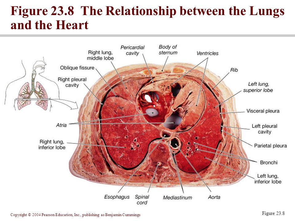 Copyright © 2004 Pearson Education, Inc., publishing as Benjamin Cummings Figure 23.8 Figure 23.8 The Relationship between the Lungs and the Heart