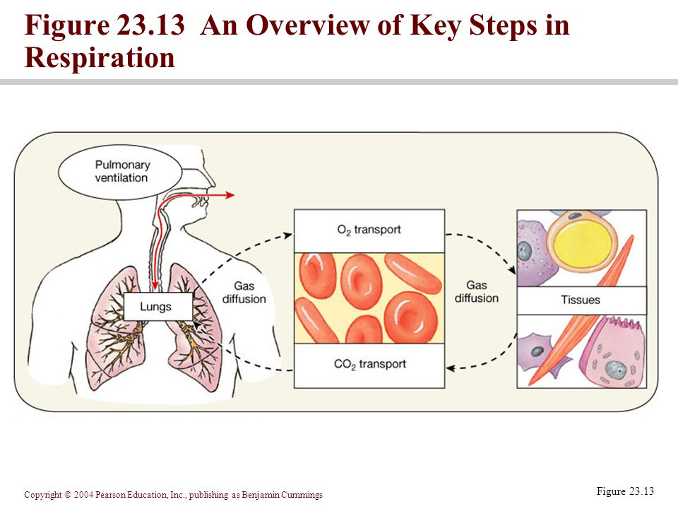 Copyright © 2004 Pearson Education, Inc., publishing as Benjamin Cummings Figure 23.13 Figure 23.13 An Overview of Key Steps in Respiration