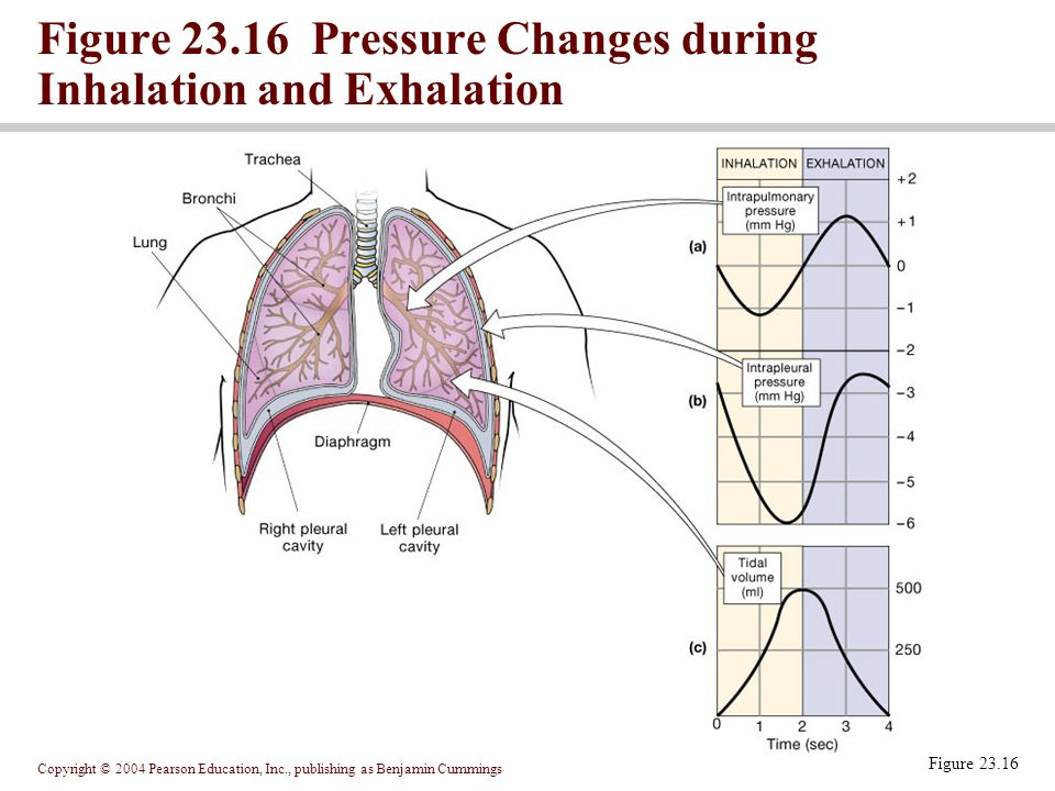 Copyright © 2004 Pearson Education, Inc., publishing as Benjamin Cummings Figure 23.16 Figure 23.16 Pressure Changes during Inhalation and Exhalation