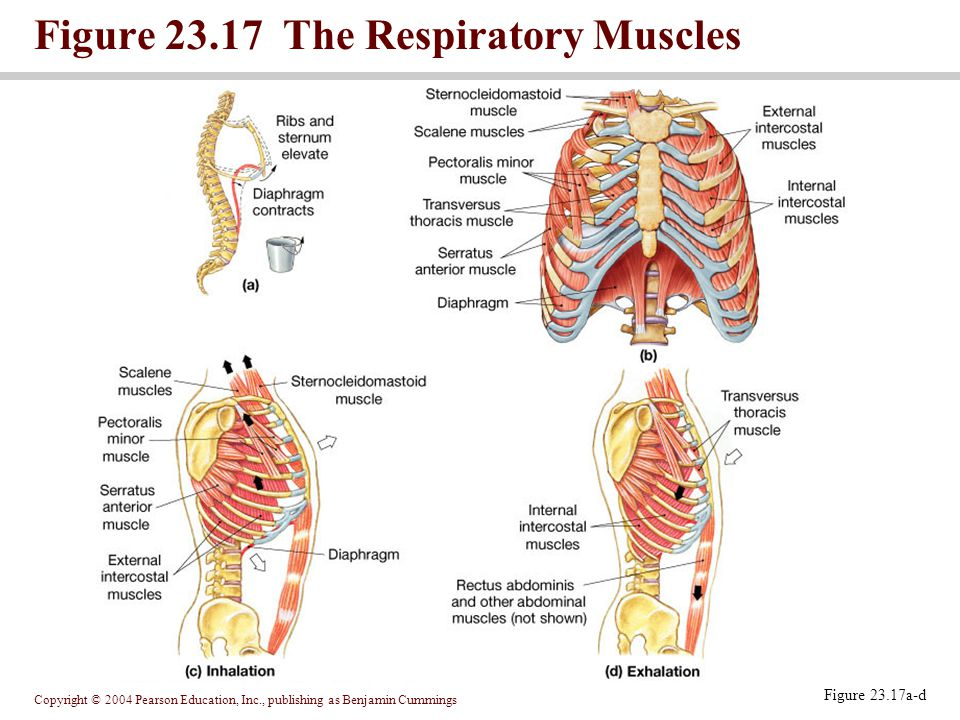Copyright © 2004 Pearson Education, Inc., publishing as Benjamin Cummings Figure 23.17a-d Figure 23.17 The Respiratory Muscles