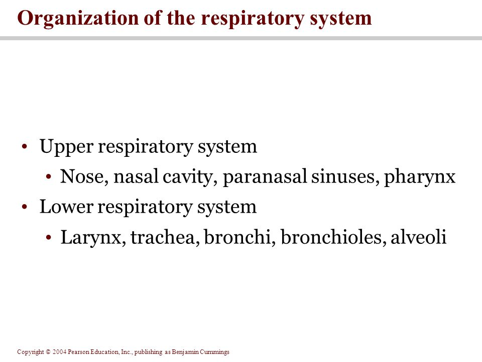 Copyright © 2004 Pearson Education, Inc., publishing as Benjamin Cummings Upper respiratory system Nose, nasal cavity, paranasal sinuses, pharynx Lowe