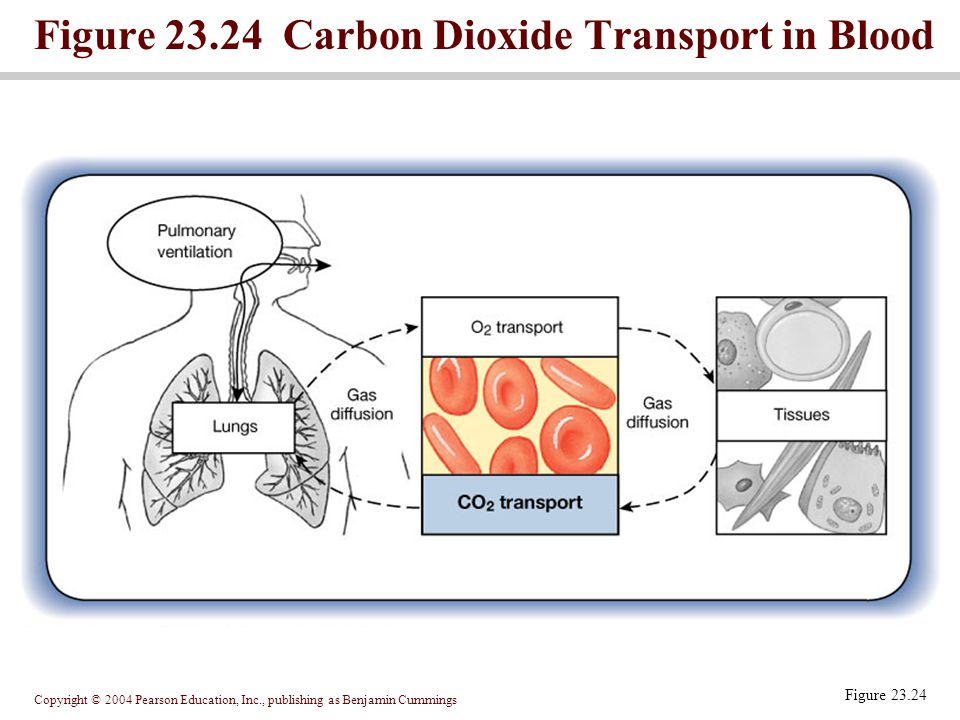 Copyright © 2004 Pearson Education, Inc., publishing as Benjamin Cummings Figure 23.24 Figure 23.24 Carbon Dioxide Transport in Blood