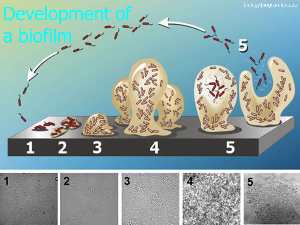 Development of a biofilm biology.binghamton.edu