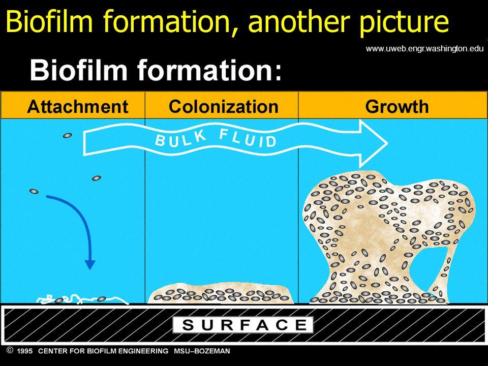 Biofilm formation, another picture www.uweb.engr.washington.edu
