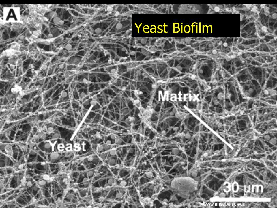 Yeast Biofilm www.ansci.wisc.edu