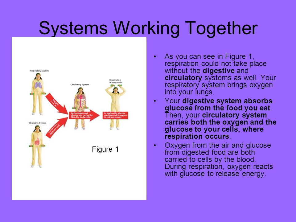 Systems Working Together As you can see in Figure 1, respiration could not take place without the digestive and circulatory systems as well. Your resp