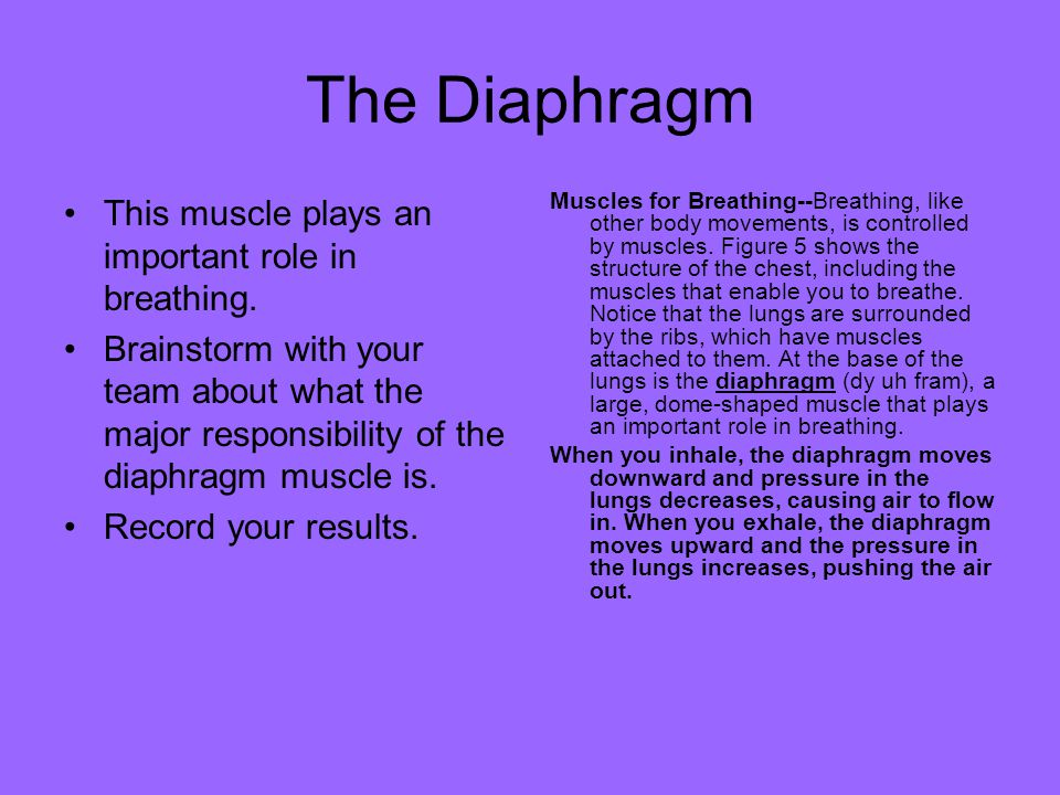 The Diaphragm This muscle plays an important role in breathing. Brainstorm with your team about what the major responsibility of the diaphragm muscle