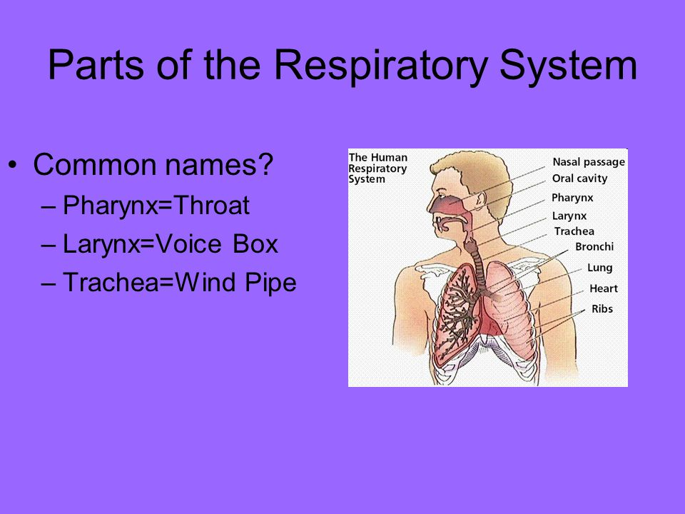 Parts of the Respiratory System Common names? –Pharynx=Throat –Larynx=Voice Box –Trachea=Wind Pipe