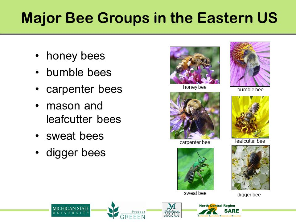 honey bees bumble bees carpenter bees mason and leafcutter bees sweat bees digger bees Major Bee Groups in the Eastern US honey bee carpenter bee bumble bee leafcutter bee sweat bee digger bee