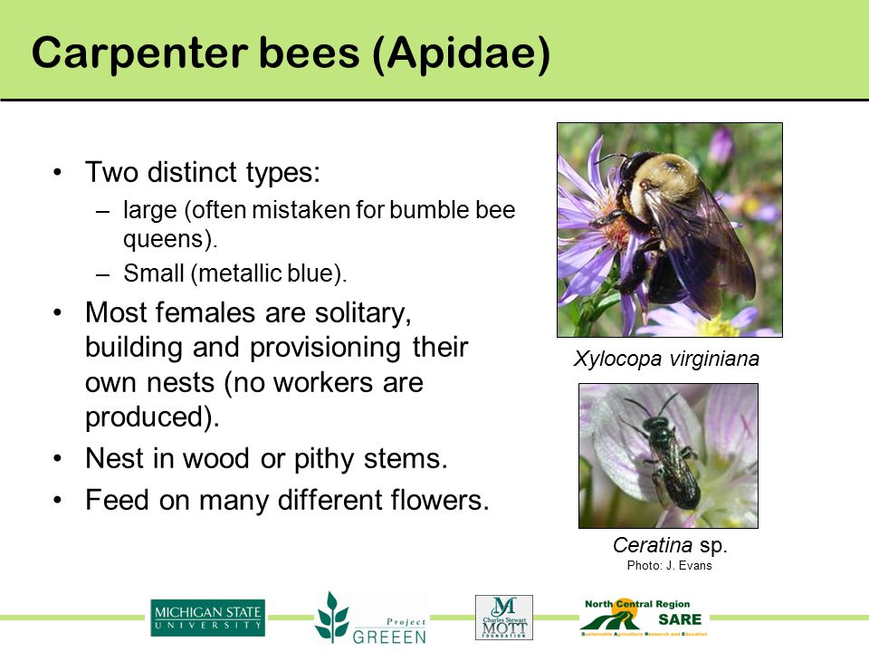 Carpenter bees (Apidae) Two distinct types: –large (often mistaken for bumble bee queens).