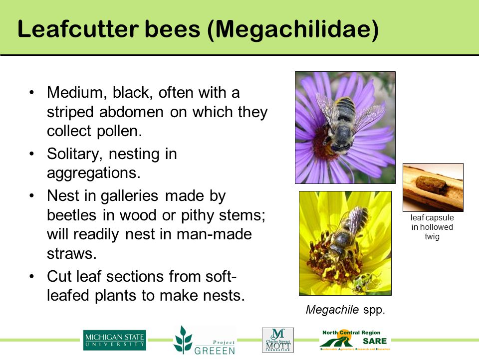 Leafcutter bees (Megachilidae) Medium, black, often with a striped abdomen on which they collect pollen.