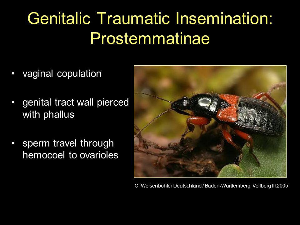 Genitalic Traumatic Insemination: Prostemmatinae vaginal copulation genital tract wall pierced with phallus sperm travel through hemocoel to ovarioles