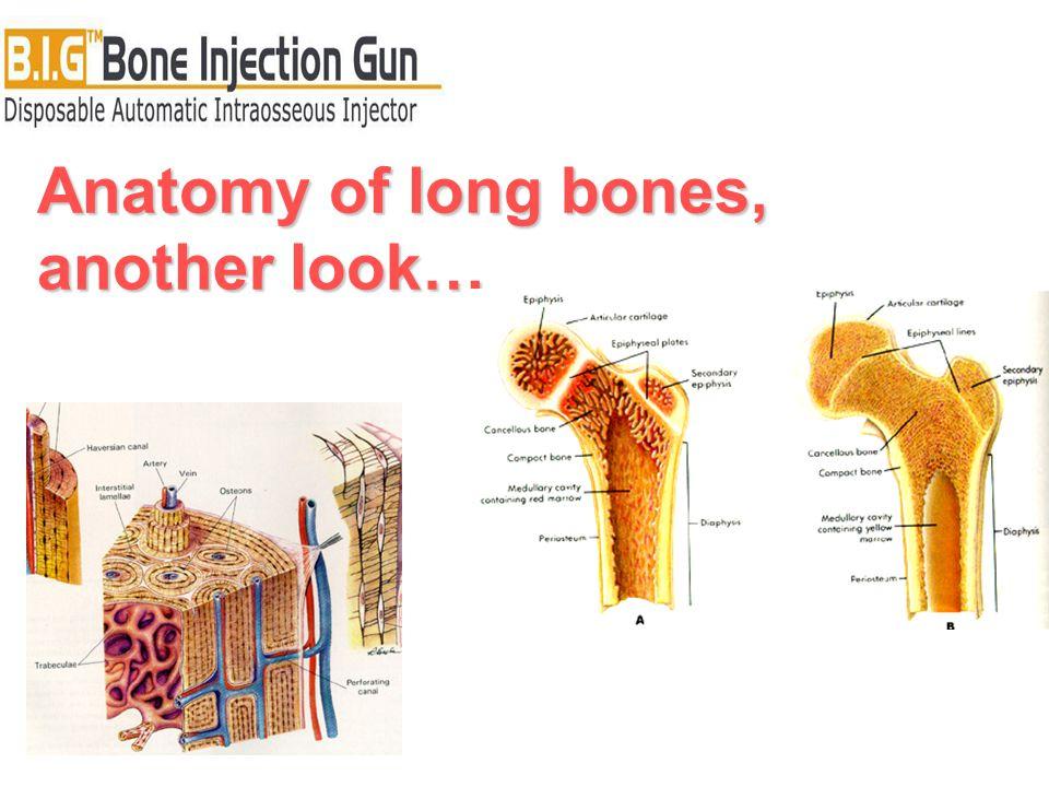 Anatomy of long bones, another look…