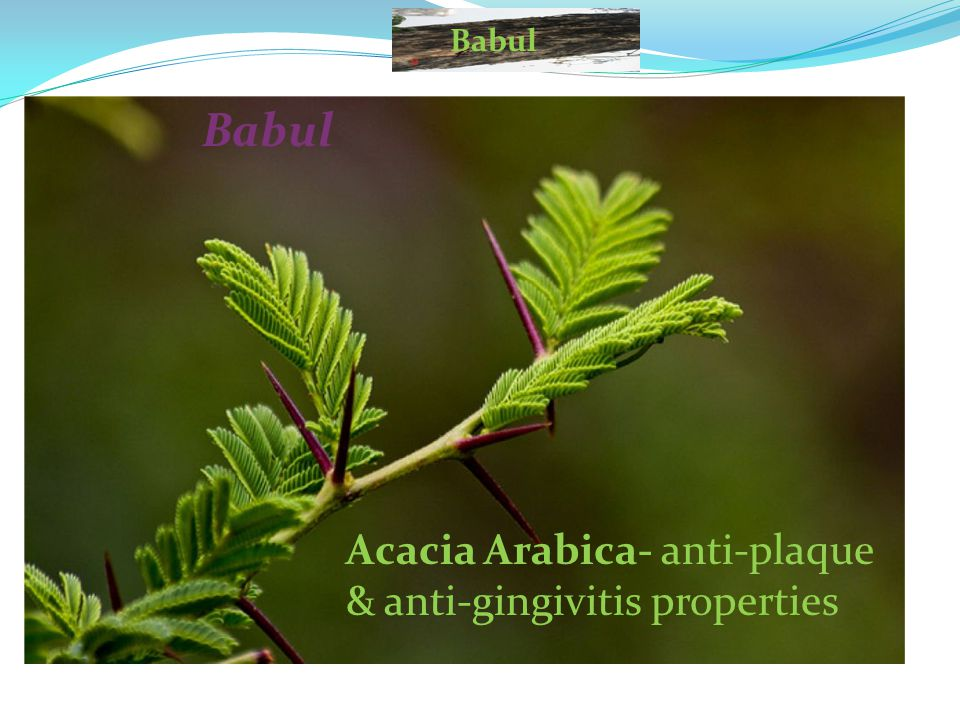 Acacia Arabica- anti-plaque & anti-gingivitis properties Babul