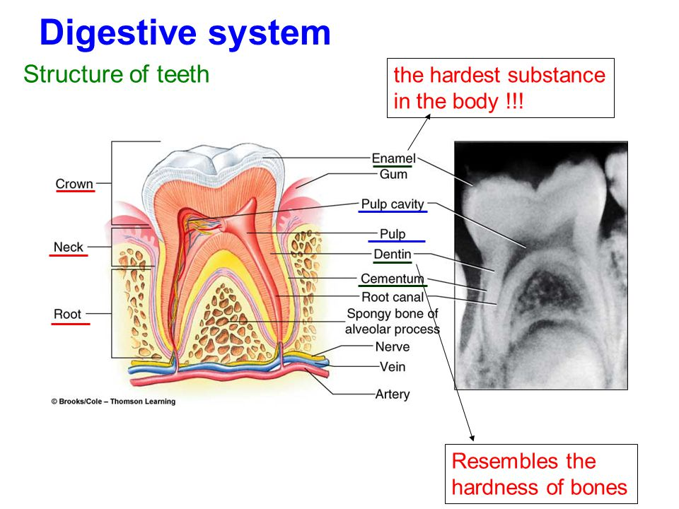 Digestive system Structure of teeth the hardest substance in the body !!! Resembles the hardness of bones
