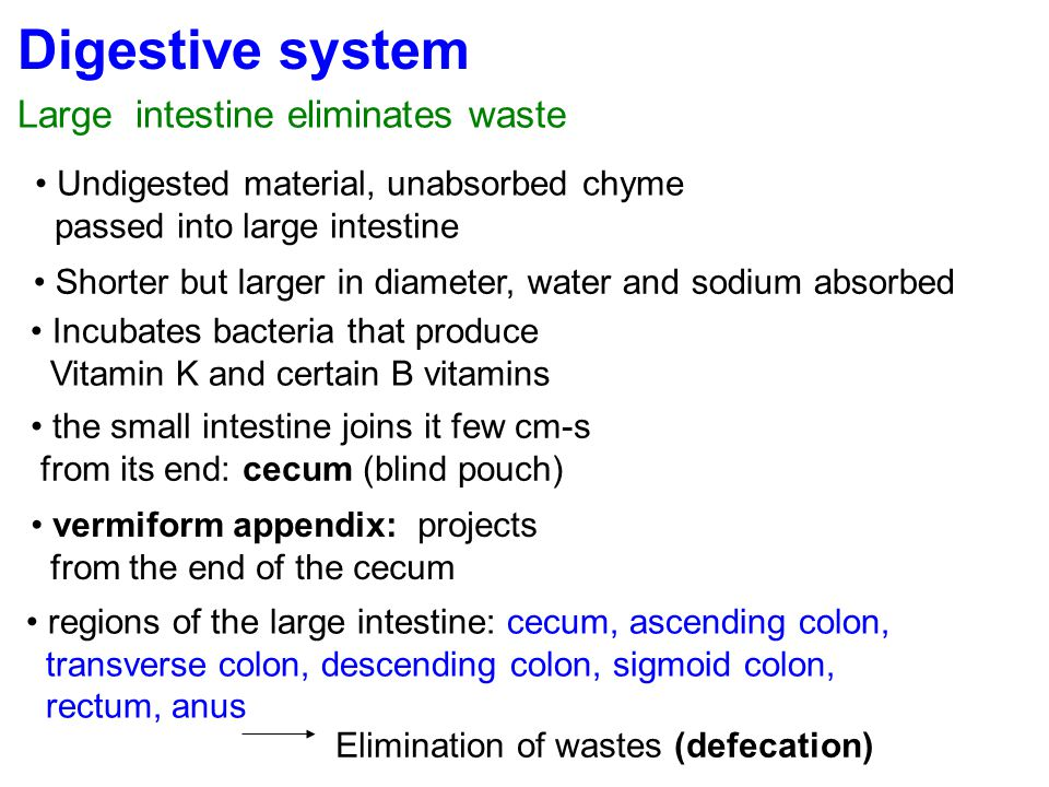 Digestive system Large intestine eliminates waste Undigested material, unabsorbed chyme passed into large intestine Shorter but larger in diameter, wa