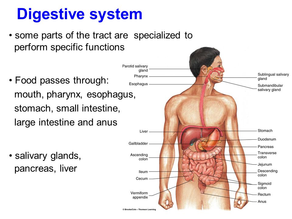 Digestive system some parts of the tract are specialized to perform specific functions Food passes through: mouth, pharynx, esophagus, stomach, small