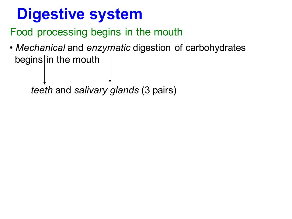 Digestive system Mechanical and enzymatic digestion of carbohydrates begins in the mouth Food processing begins in the mouth teeth and salivary glands