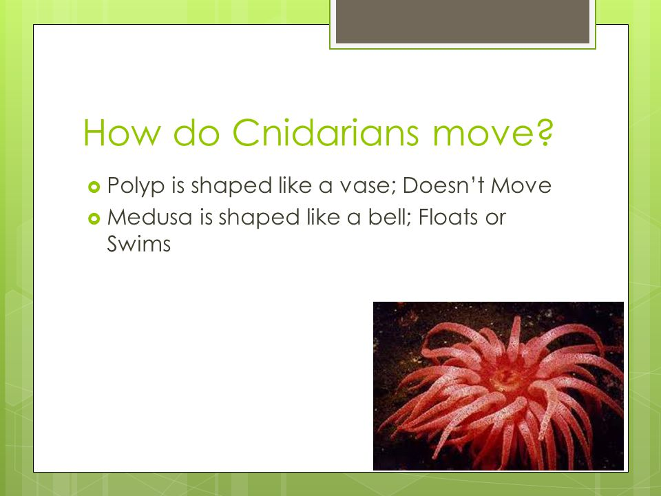 How do Cnidarians move?  Polyp is shaped like a vase; Doesn't Move  Medusa is shaped like a bell; Floats or Swims