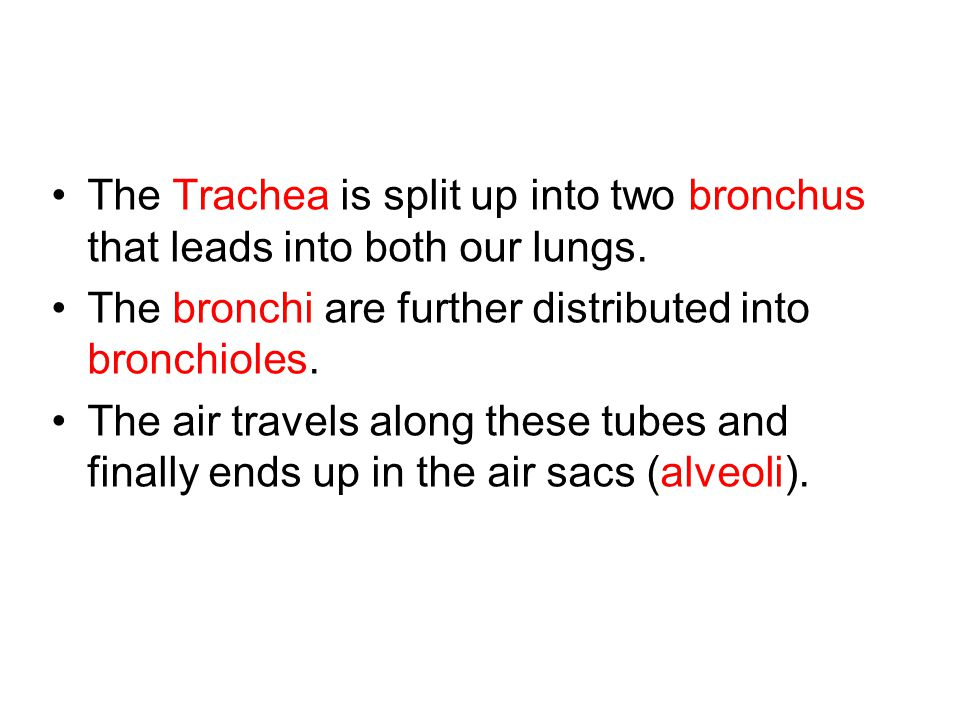 The Trachea is split up into two bronchus that leads into both our lungs. The bronchi are further distributed into bronchioles. The air travels along
