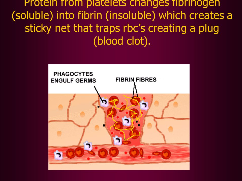 Protein from platelets changes fibrinogen (soluble) into fibrin (insoluble) which creates a sticky net that traps rbc's creating a plug (blood clot).