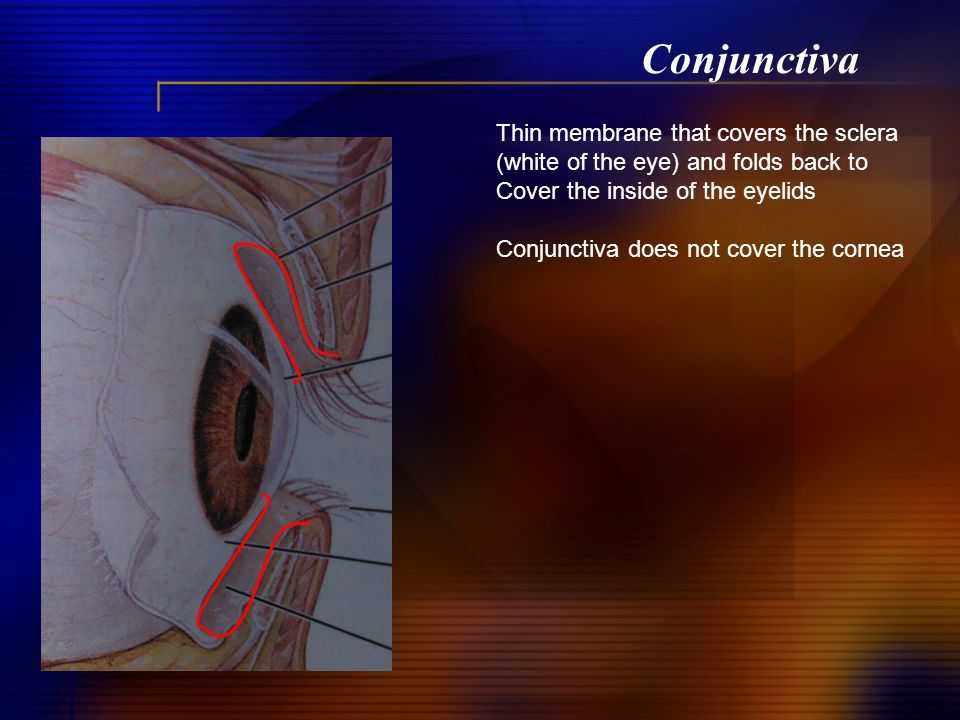 Conjunctiva Thin membrane that covers the sclera (white of the eye) and folds back to Cover the inside of the eyelids Conjunctiva does not cover the cornea