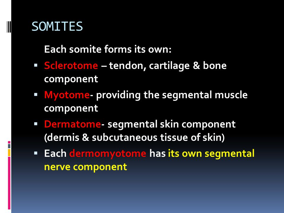 SOMITES Each somite forms its own:  Sclerotome – tendon, cartilage & bone component  Myotome- providing the segmental muscle component  Dermatome-