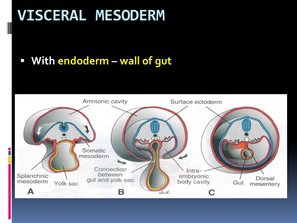 VISCERAL MESODERM  With endoderm – wall of gut