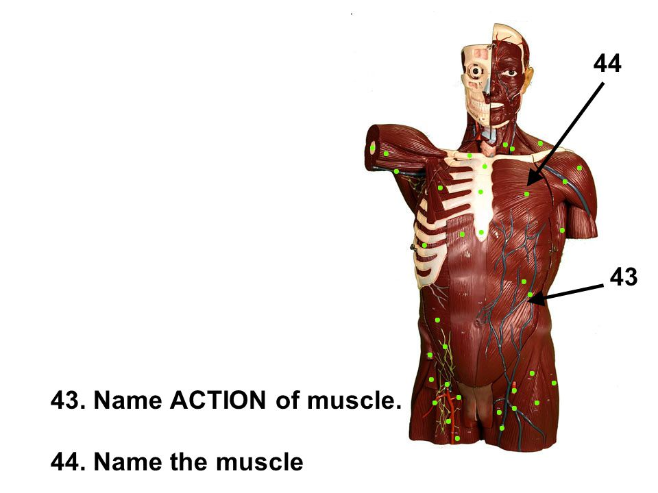 43. Name ACTION of muscle. 44. Name the muscle 43 44