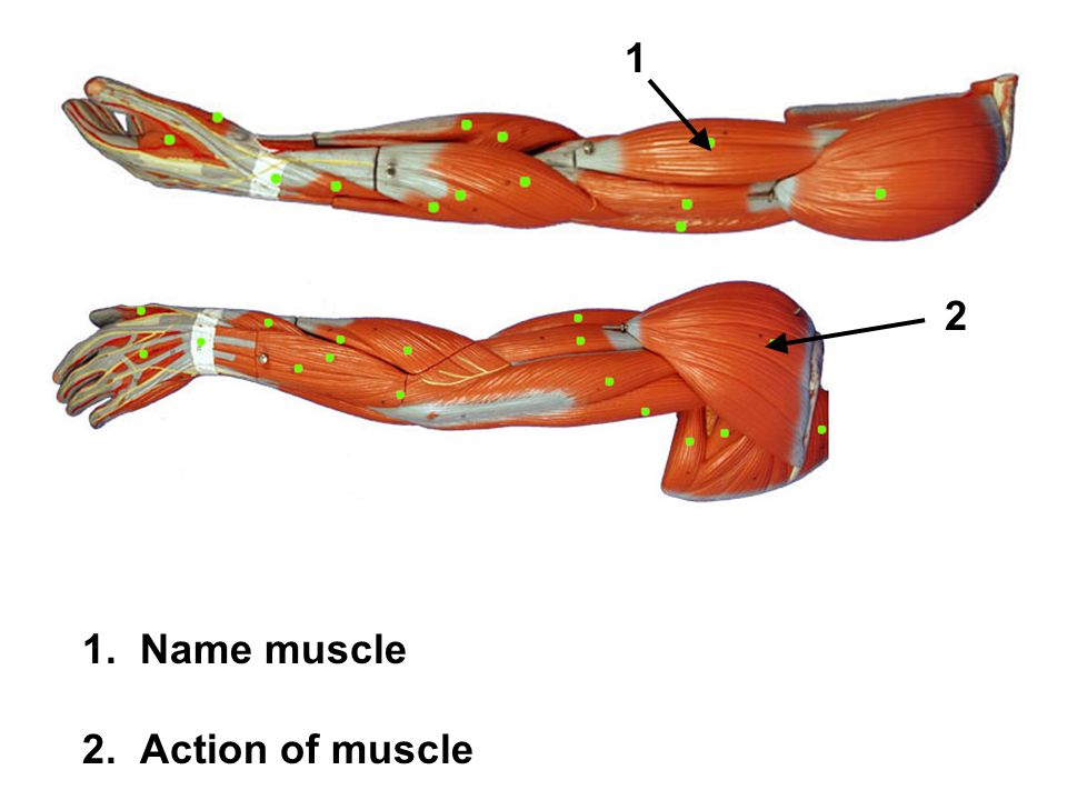 1. Name muscle 2. Action of muscle 2 1