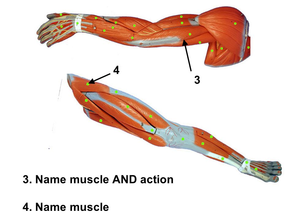 3. Name muscle AND action 4. Name muscle 4 3