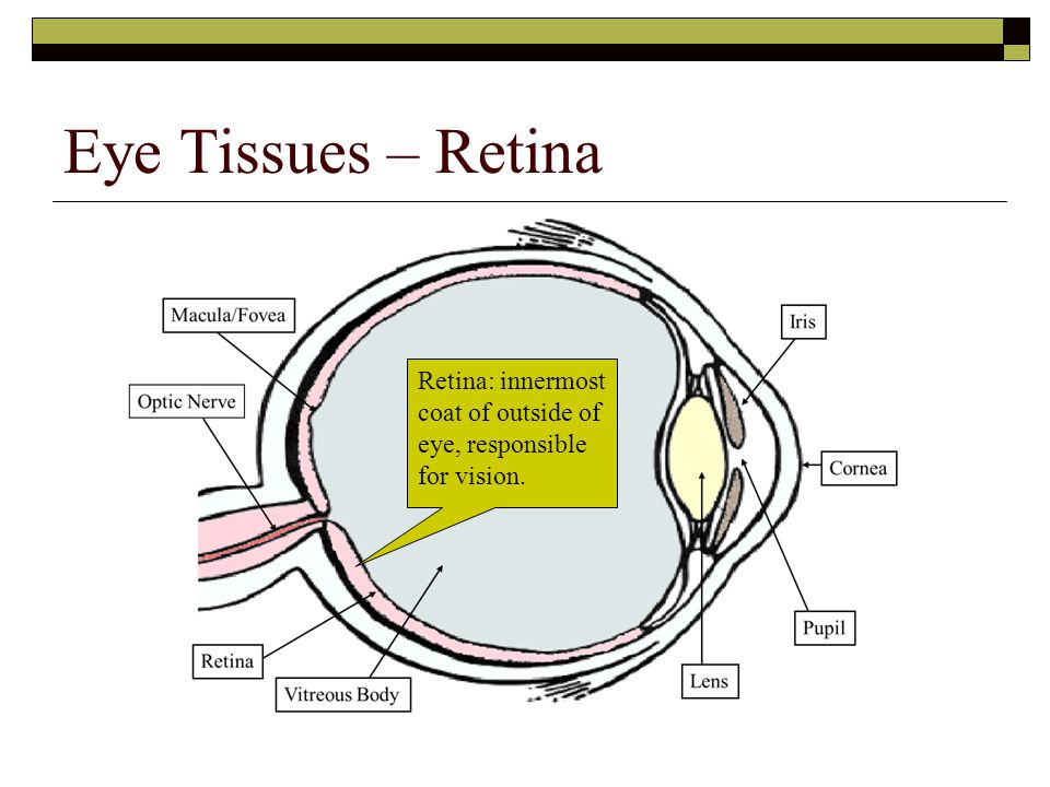 Eye Tissues – Retina Retina: innermost coat of outside of eye, responsible for vision.