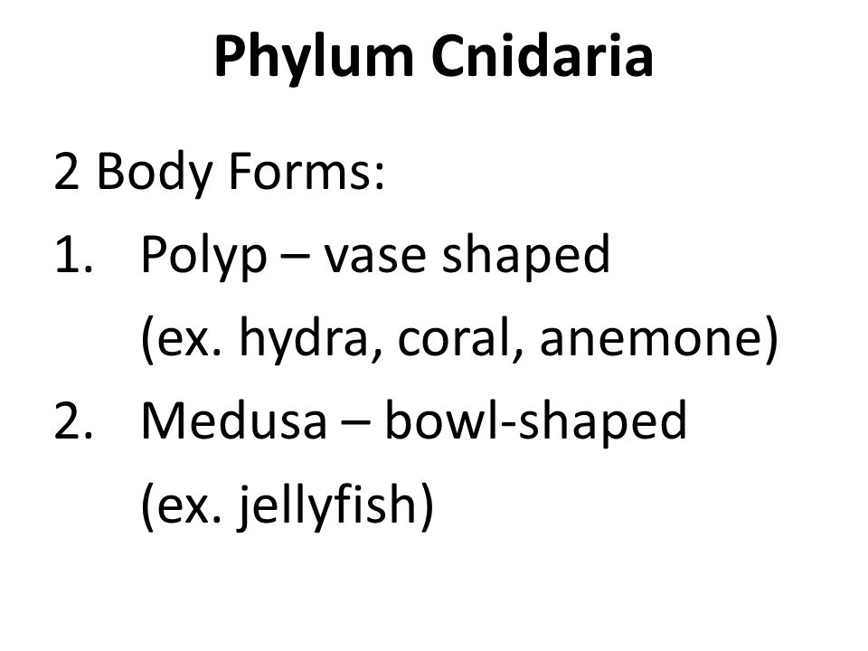 Phylum Cnidaria 2 Body Forms: 1.Polyp – vase shaped (ex. hydra, coral, anemone) 2.Medusa – bowl-shaped (ex. jellyfish)