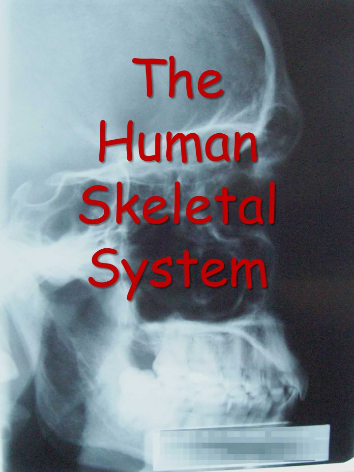 Skeletal (Anterior View)
