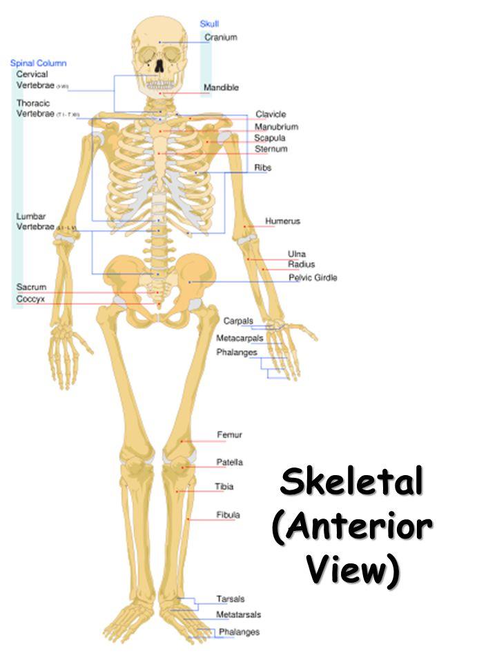 Skeletal (Posterior View)