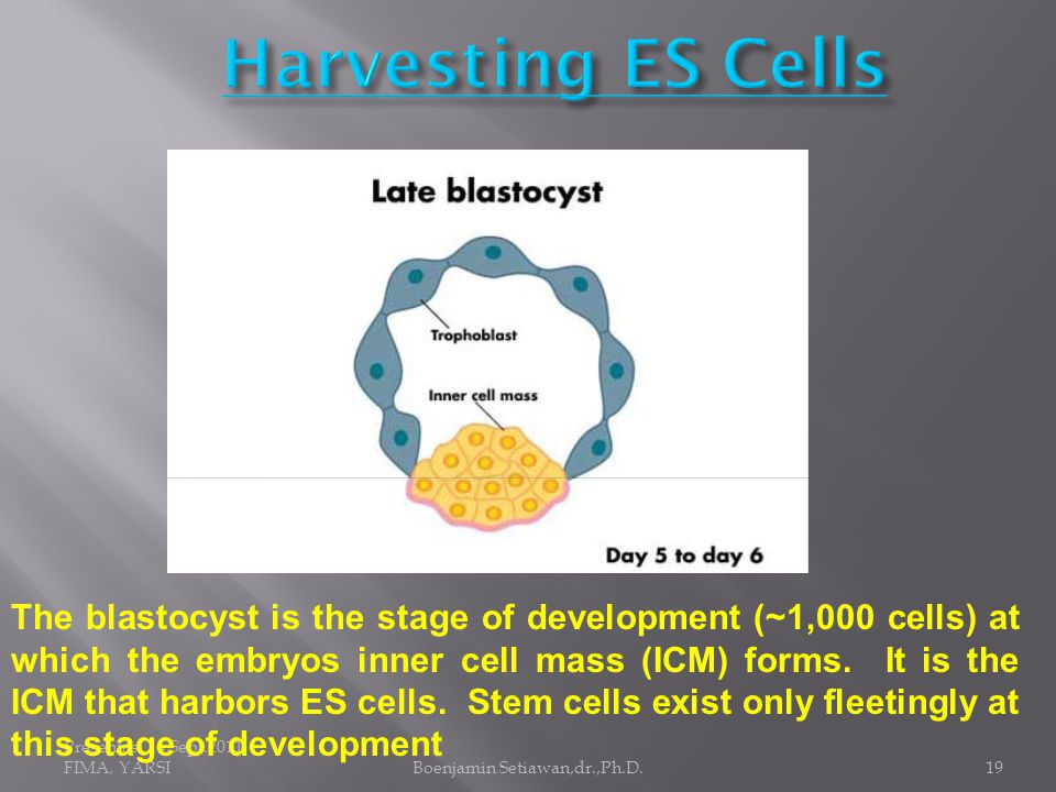 Presentasi 16 Sept.2011, FIMA, YARSIBoenjamin Setiawan,dr.,Ph.D.19 The blastocyst is the stage of development (~1,000 cells) at which the embryos inner cell mass (ICM) forms.