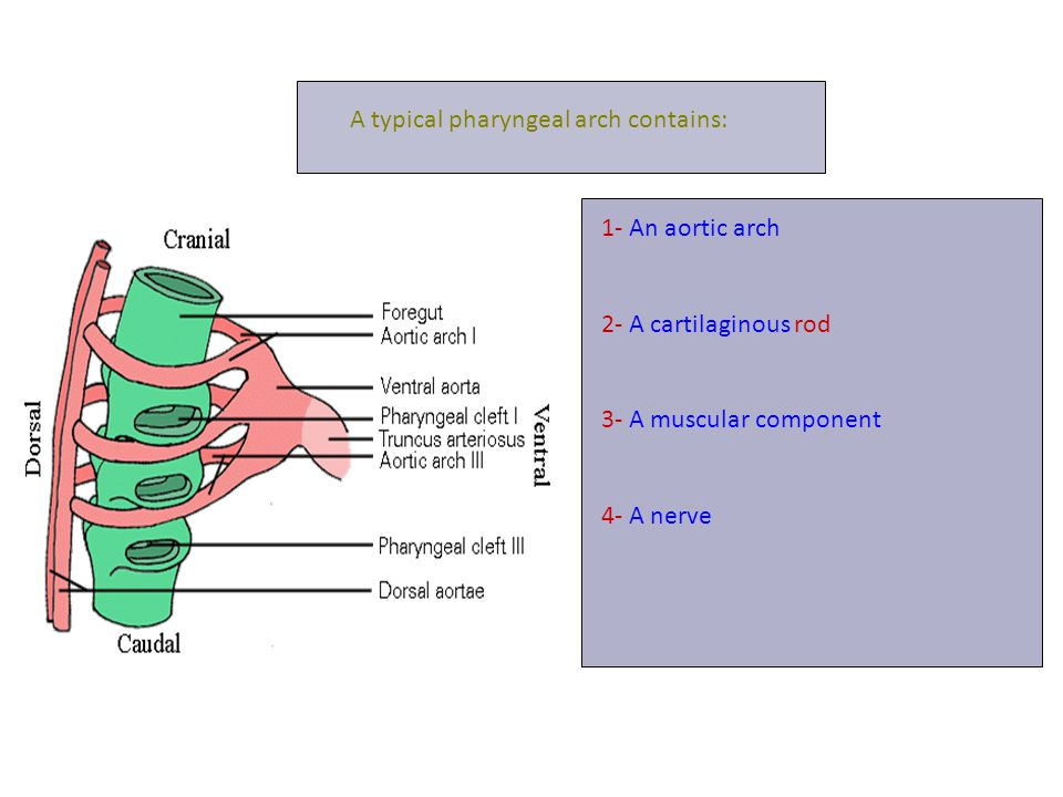 A typical pharyngeal arch contains: 1- An aortic arch 2- A cartilaginous rod 3- A muscular component 4- A nerve