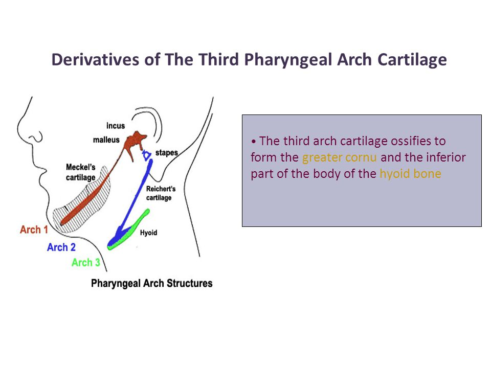 Derivatives of The Third Pharyngeal Arch Cartilage The third arch cartilage ossifies to form the greater cornu and the inferior part of the body of th