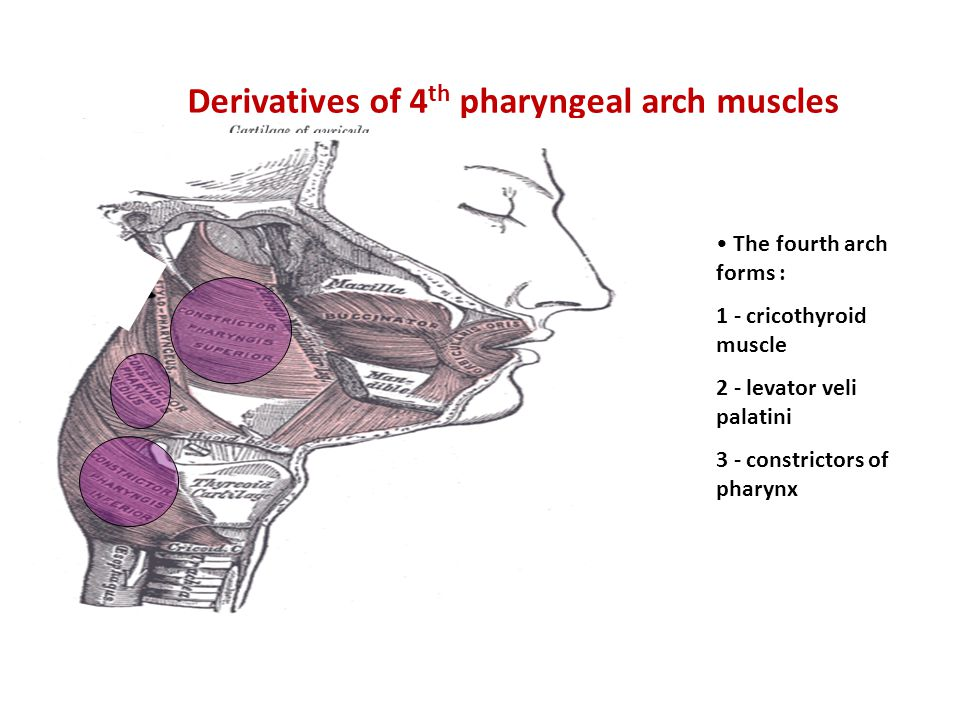 Derivatives of 4 th pharyngeal arch muscles The fourth arch forms : 1 - cricothyroid muscle 2 - levator veli palatini 3 - constrictors of pharynx