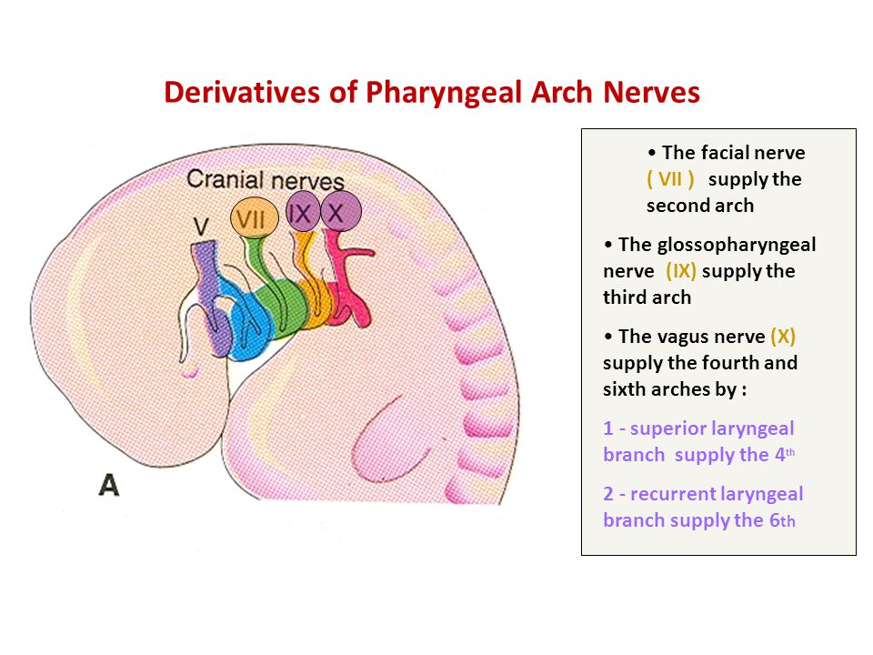 Derivatives of Pharyngeal Arch Nerves The facial nerve ( VII ( supply the second arch The glossopharyngeal nerve (IX) supply the third arch The vagus