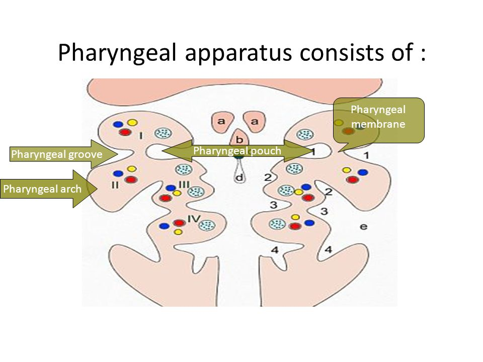 Pharyngeal apparatus consists of : Pharyngeal arch Pharyngeal pouch Pharyngeal membrane Pharyngeal groove