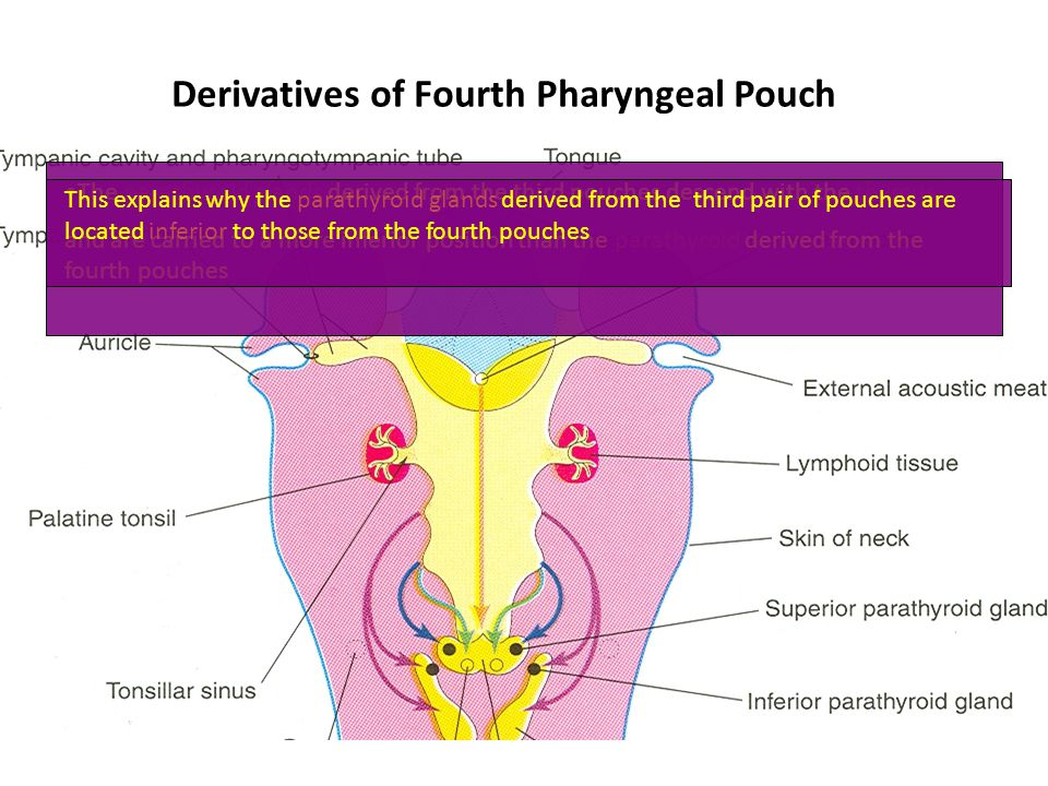Derivatives of Fourth Pharyngeal Pouch The parathyroid glands derived from the third pouches descend with the thymus and are carried to a more inferio