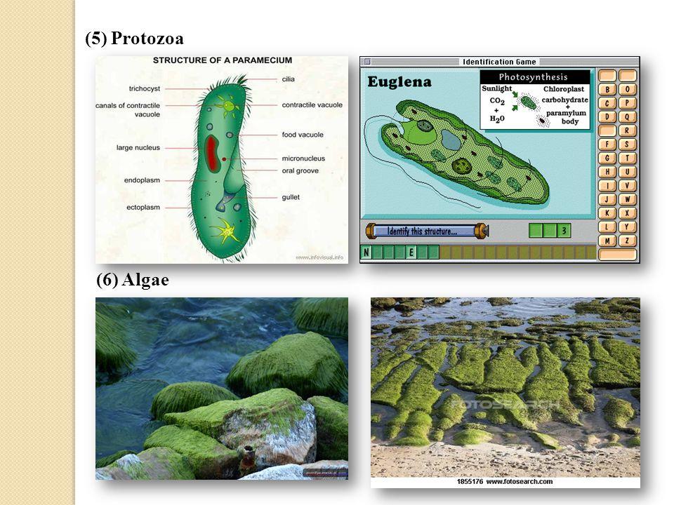 (5) Protozoa (6) Algae