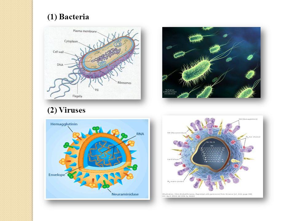 (1) Bacteria (2) Viruses