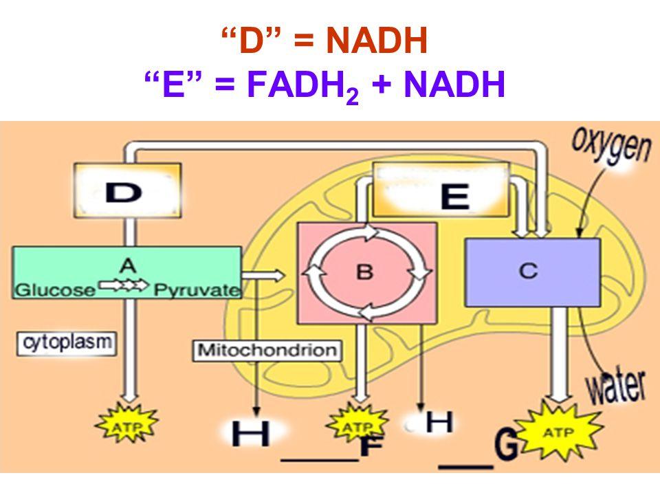 D = NADH E = FADH 2 + NADH