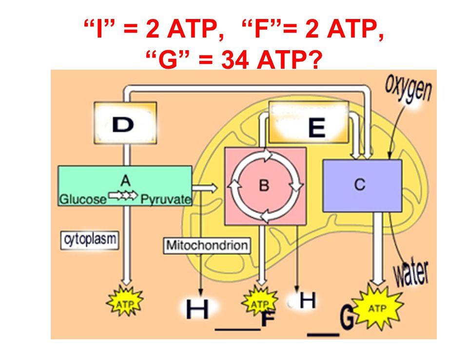 I = 2 ATP, F = 2 ATP, G = 34 ATP