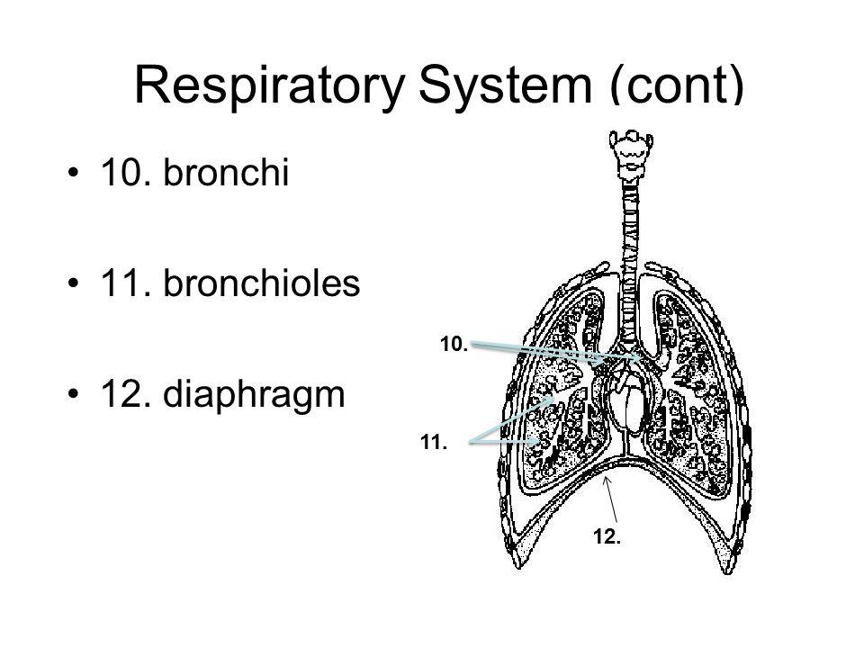Respiratory System (cont) 10. bronchi 11. bronchioles 12. diaphragm 10. 11. 12.